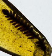 Fern: ?Polypodiopsida non det.