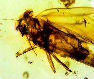 Diptera non det.