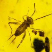 Alienoptera - ?Aethiocarenus burmanicus Poinar & Brown, 2017
