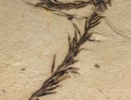 Metasequoia occidentalis Chaney, 1951