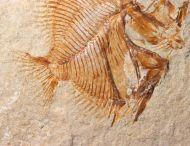 Pycnosteroides levispinosus (HAY, 1903)