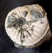 Amaltheus gibbosus (Schlotheim, 1820)