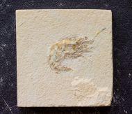 Carpopenaeus callirostris Glaessner 1945
