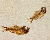 Hemisaurida hakelensis Goody,1969 & Davichthys garneri Forey, 1973