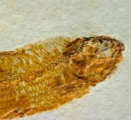 Ctenodentelops striatus Forey et al. 2003