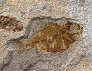 Ctenothrissa sp.