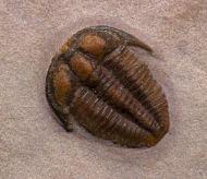 Bolaspidella cf  housensis (WALCOTT, 1886)