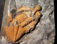 Coronocephalus gaoluoensis (Wu, 1979)