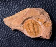 Sinosaukia daliensis Zhou, 2011