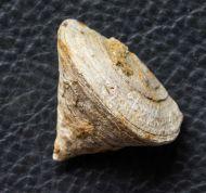 Calceola sandalina (Linneé, 1771)