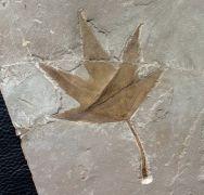 Platanus wyomingensis (Knowlton)