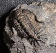 Pilletopeltis maurus (Alberti, 1966)