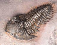 Metacanthina maderensis Morzadec 2001