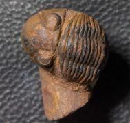 Paralejurus brongniarti  (BARRANDE 1846)