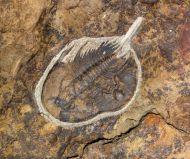 Olenellus chifensis PALMER, 1998