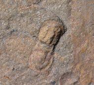 Geragnostus sp. & Asaphellus sp.