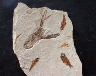 Pseudostacus hakelensis (FRAAS, 1878) & ?Hakeliosomus hakelensis (DAVIS, 1887)