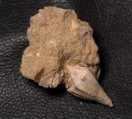 Athleta (Volutospina) spinosus (Linnaeus 1758)