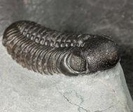 Boeckops stelcki MCKELLAR et al 2009