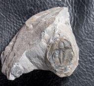 Aphelaspis  westropi (Chatterton & Ludvigsen, 1998)