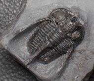 Cyphaspis walteri  (Van Viersen & Prescher,2014)