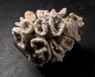 Thecosmilia trichotoma (GOLDFUSS 1826)