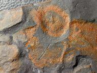 Graptolites -  Brickhill Shales