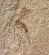 Tropisternus cf saxialis Scudder,1878 & Mycetophilidae non det.