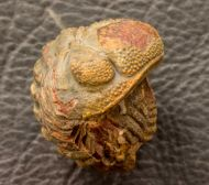 Morocops granulops (CHATTERTON et al., 2006)