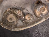Kosmoceras (Gulielmiceras) gulielmii (Sowerby, 1821) & Reineckeia sp.