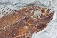 Ctenothrissa vexillifer (Pictet, 1850)