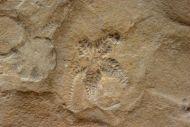 Aspiduriella scutellata (Blumenbach1803)