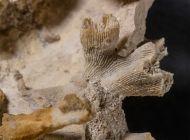 Montlivaltia sp. & Thecosmilia trichotoma (GOLDFUSS 1826)