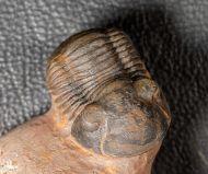 Paralejurus elayounensis SCHRAUT 2000