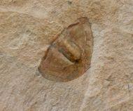 Glossopleura packi (Resser, 1935)