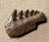 Notorynchus primigenius (Agassiz, 1843)
