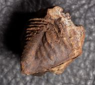 Burmeisterella armata (Burmeister, 1843)