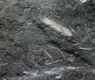 Graptolithen - Brickhill Shales