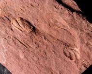 Serrodiscus (Eodiscus) silesius RICHTER & RICHTER, 1941