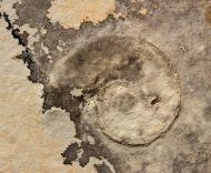 Lingulaticeras solenoides (QUENSTEDT, 1849)