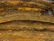Gongylina sp.