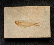 Ctenodentelops striatus Forey etal. 2003
