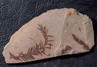 Metasequoia glyptostroboides Hu & Cheng,  1948