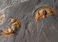 Trinucleus fimbriatus MURCHISON 1839
