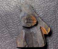 Placoparia cambriensis HICKS, 1875