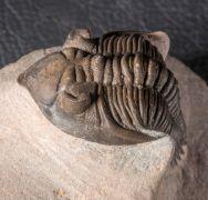 Metacanthina issoumourensis Morzardec 2001