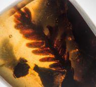 Fossil Fern : ?Polypodiopsida non det.