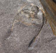 Bettonolithus chamberlaini (Elles 1940)