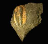 Ptychoparella longus  (PALMER, 1979)