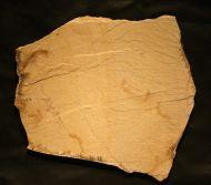 Leptolepides sprattiformis BLAINVILLE 1818